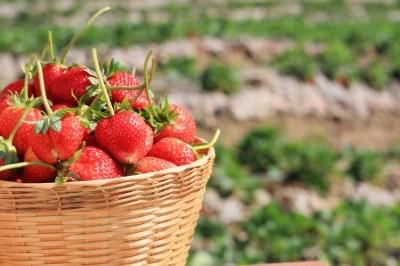 fraises santé
