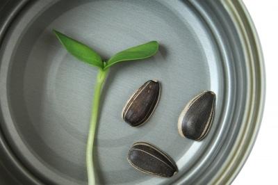 tournesol graines pousses