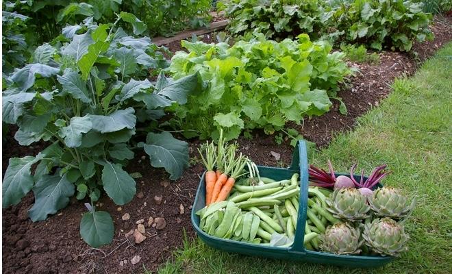 potager maison legumes