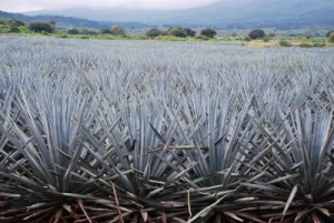 sucre substitut sirop d'agave agave