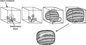 pastèques carrées