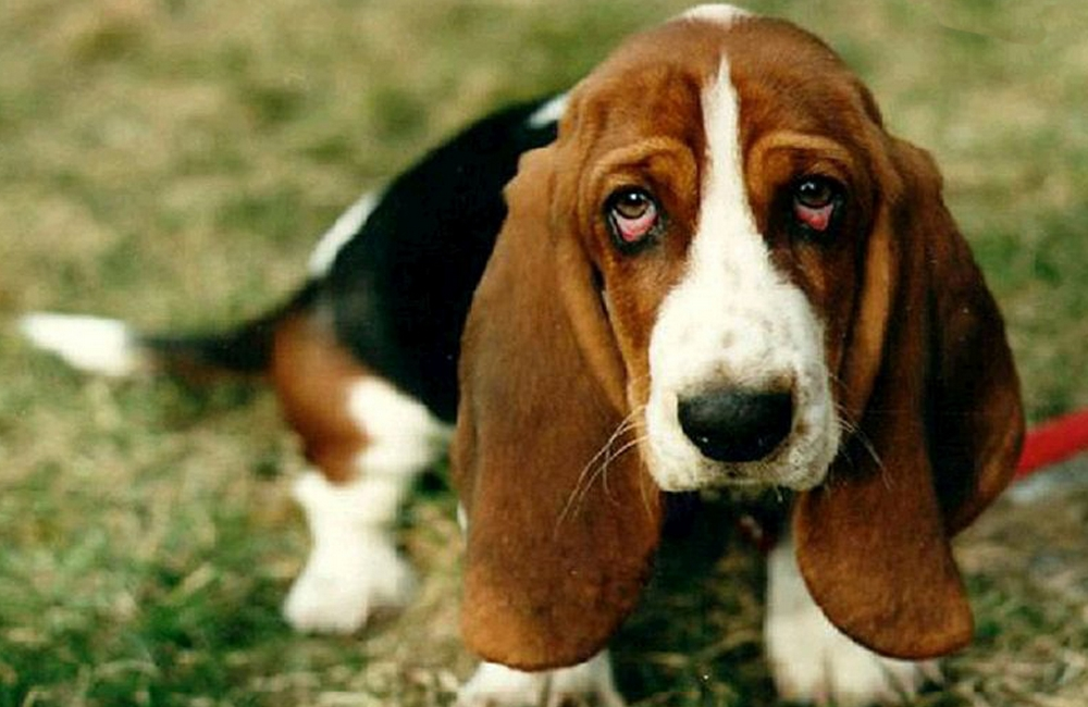 Cynophagie : pourquoi certaines populations mangent-elles du chien ?