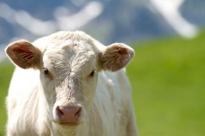 viande de veau