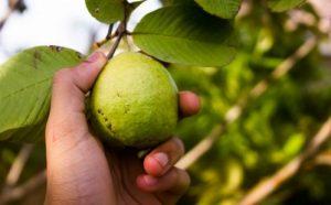 goyave fruit