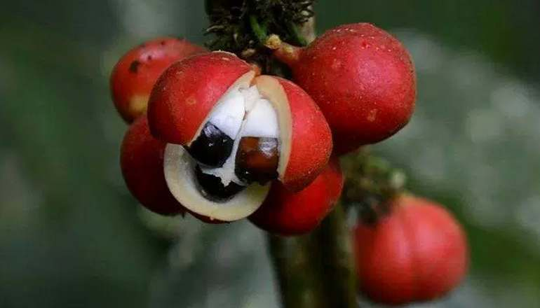 Bienfaits du guarana et de ses fruits