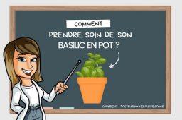 Comment prendre soin de son basilic en pot ?
